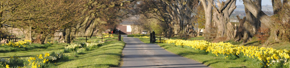 Ivesley driveway with daffodils